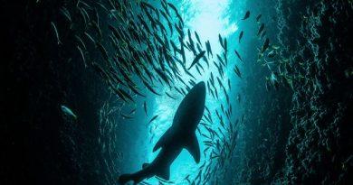 Το μεγαλύτερο μυστήριο της θάλασσας: Γιατί δεν έχει δει κανείς φαλαινοκαρχαρία να γεννάει