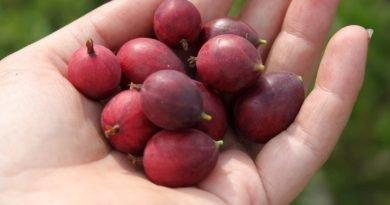 Φραγκοστάφυλο (gooseberry): Γιατί χαρακτηρίζεται «superfood»;
